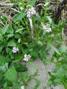sea rocket wild flower Bell