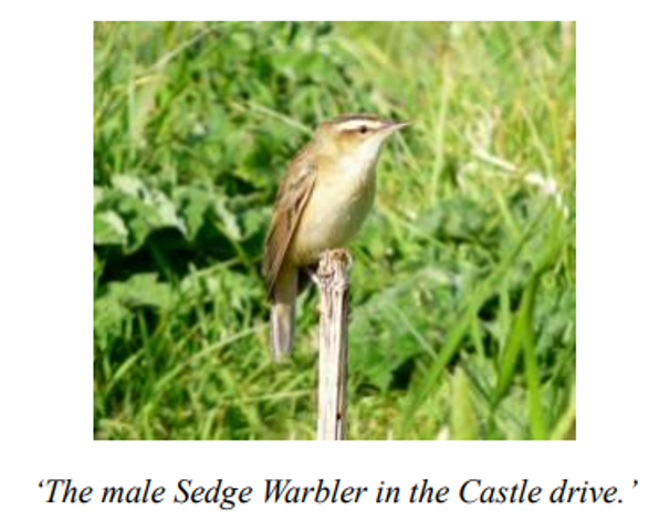 male sedge warbler