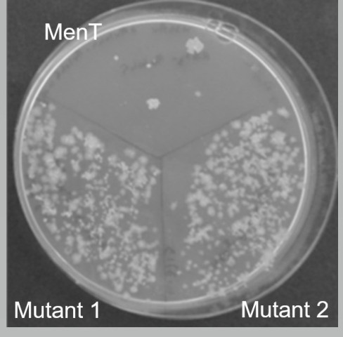 TB Activated MenT toxin stops growth of Mycobacterium tuberculosis, compared to biochemically inactive mutant versions of MenT.