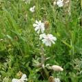 wildflowers Dam of Hoxa credit Bell