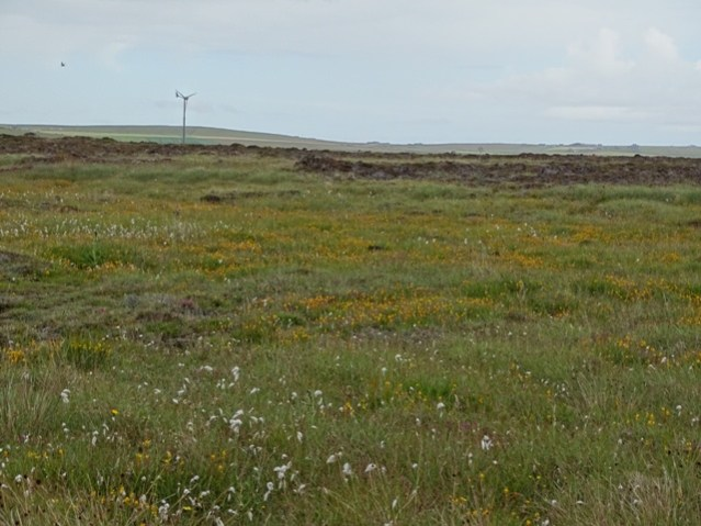 bog asphodel and bog cotton wildflowers credit Bell