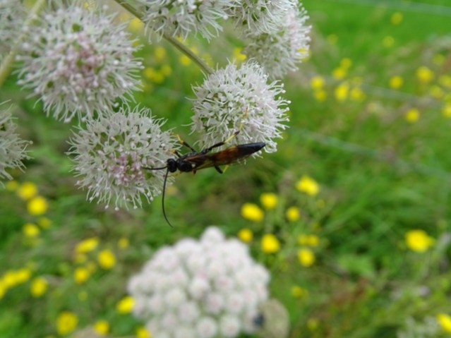 insect on angelica wildflower credit Bell