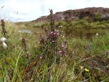 Marsh Lousewort wildflower Bell