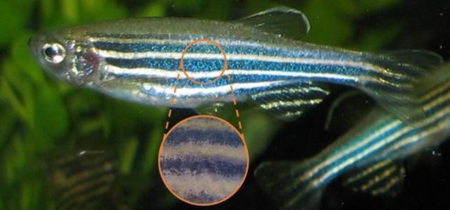 zebrafish credit: