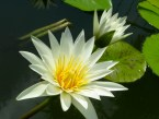 White Lotus from Theosophy Wiki