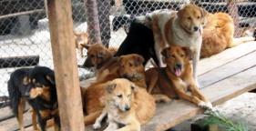 bhutan-dogs