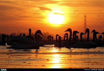 Migratory-Swans-in-Sorkhroud-Iran-7