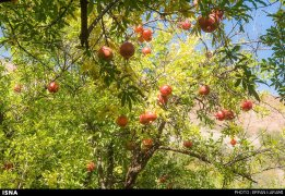 Kermanshah, Iran - Paveh, Pomegranate Harvest 2014 01