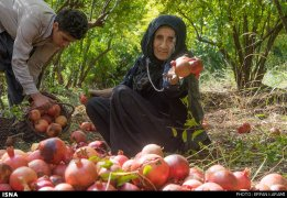 Kermanshah, Iran - Paveh, Pomegranate Harvest 2014 03
