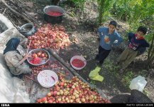 Kermanshah, Iran - Paveh, Pomegranate Harvest 2014 06