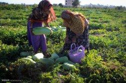 Hormozgan, Iran - Minab, Harvesting Watermelons for Yalda 07