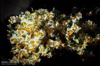 Iran - Narcissus Harvest 4