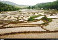 Rice fields in Gilan Province, Iran - (Photo credit: Alireza Younesi for ISNA)