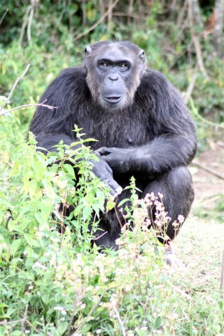 Socrates the philosophical chimpanzee