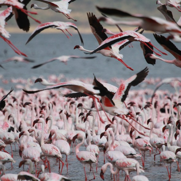 Africa, Kenya, wildlife, flamingoes, safari