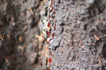 "The ""Bleeding Tree"" - it exudes bright red sap."