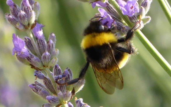 Seriously big bees
