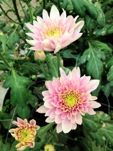 Charming Chrysanthemums.