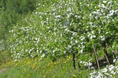 We were there at the right time to see the apple blossoms