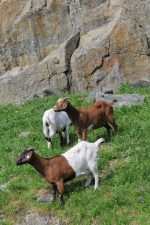 There's a farm nearby, the farmer puts his goats to pasture for the summer on this steep slope.