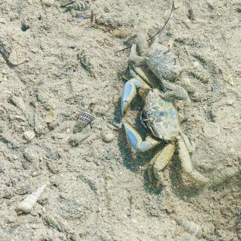 Macrophthalmus depressus (Mud Crab)