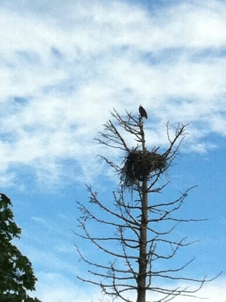Eagle Protecting Nest in Eagle's Grove