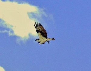 An Osprey searching for fish high above the park