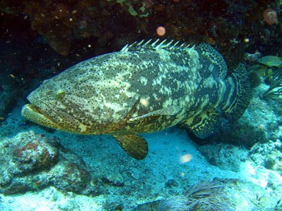 Florida Grouper