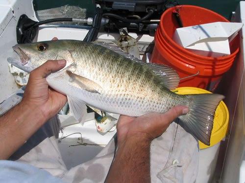 Florida Snapper