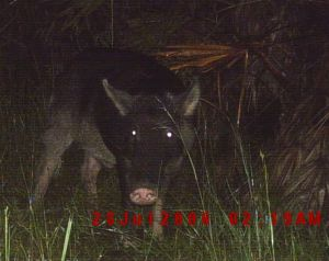 Wild Pig Hunting