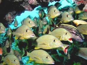 Grunts on Frenchman's Reef Key Largo