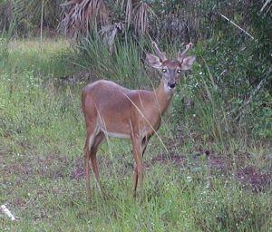 Deer in Velvet Antlers on Florida Trail