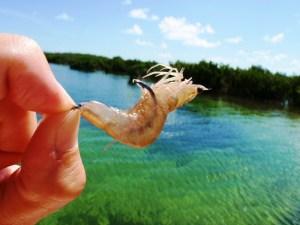 rigging shrimp for bonefish