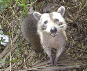 Florida Raccoon