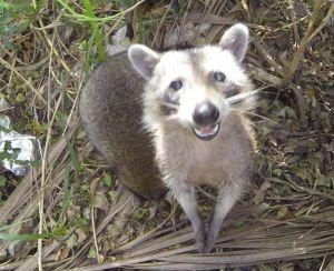 Florida Raccoon