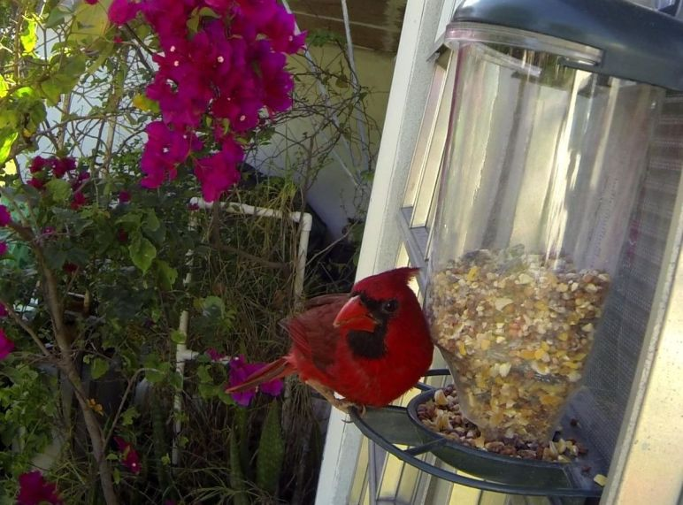 Cardinal at Birdfeeder