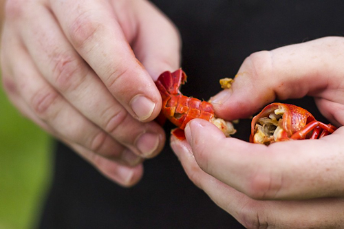 peeling crawfish