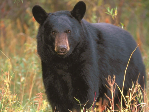 Black Bears in your neighborhood