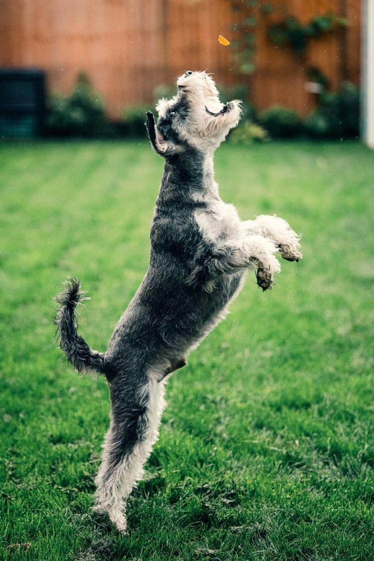Pet photo of dog catching treat