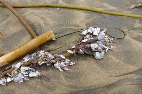 Pelagic goose barnacle, Lepas anatifera