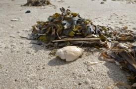 Mole crab, Emerita analoga, test and rockweed, Fucus