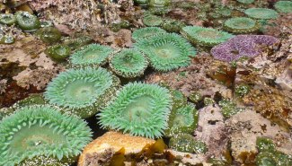 Giant green anemone, Anthopleura xanthogrammica