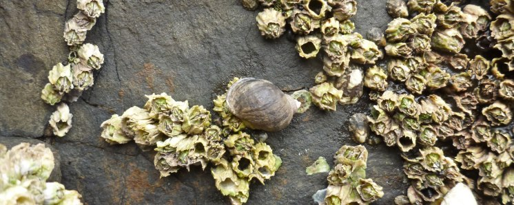 Northern striped dogwinkle, acorn barnacles and ribbed limpets