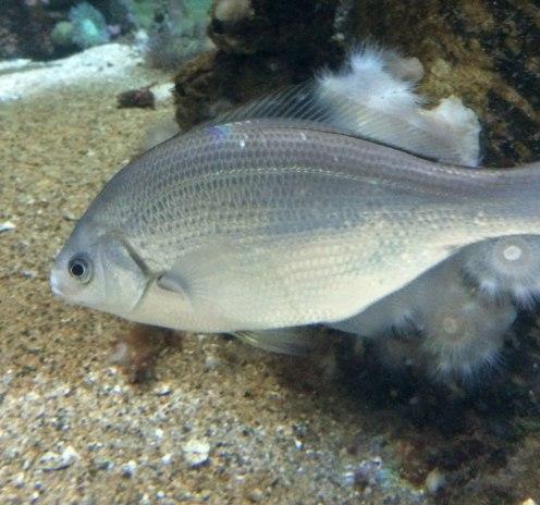 White seaperch | Monterey Bay Aquarium