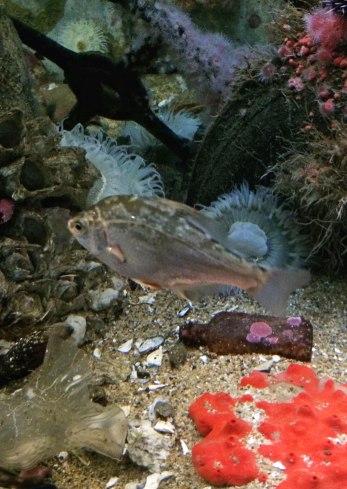 Dwarf perch, Micrometrus minimus | Monterey Bay Aquarium