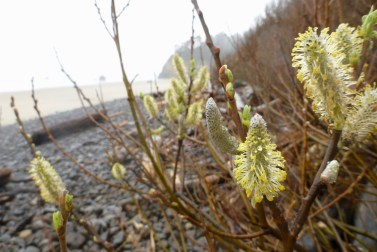 Male catkins? (February)