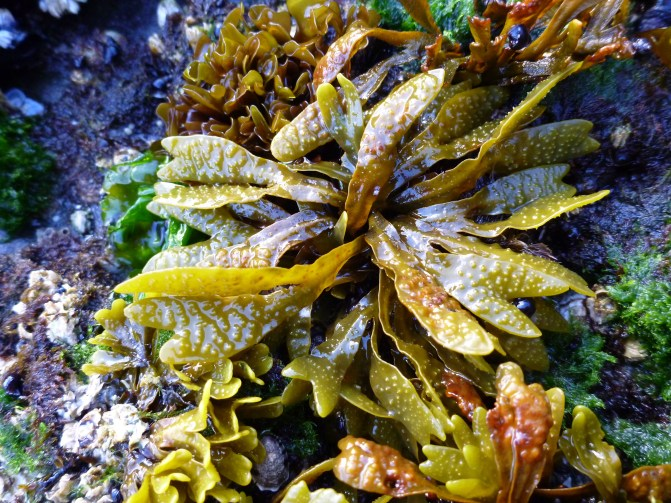 Fucus on a surf swept site