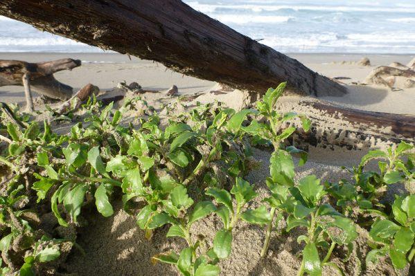 Sea rocket, Cakile edentula, perched on the backshore shelf | November