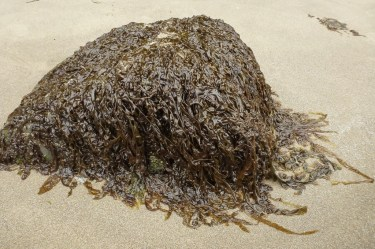 A lone rock jutting out of the sand, covered in nori, Pyropia