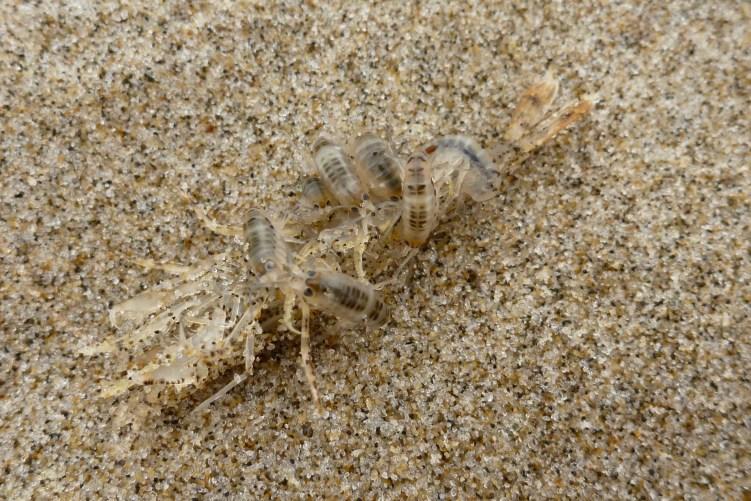 Beach hoppers, Megalorchestia, feasting on the carcass of a smooth bay shrimp, Lissocrangon stylirostris